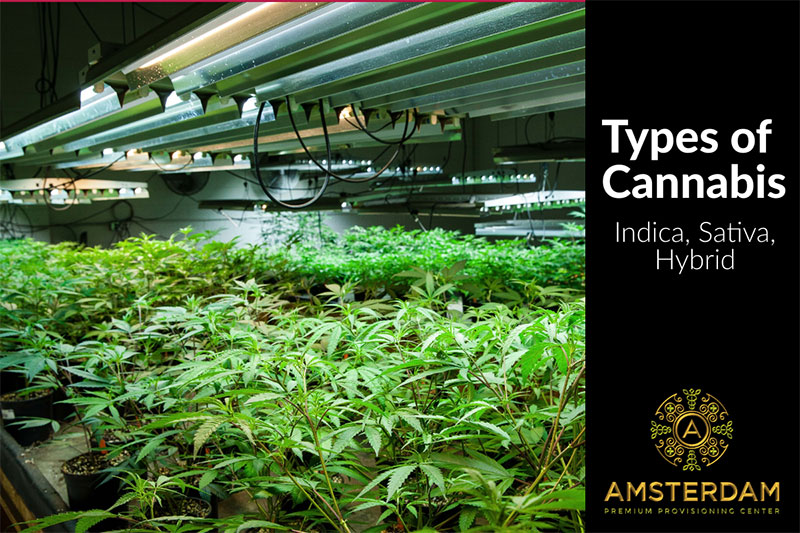 The Three Primary Types of Cannabis and Their Effects